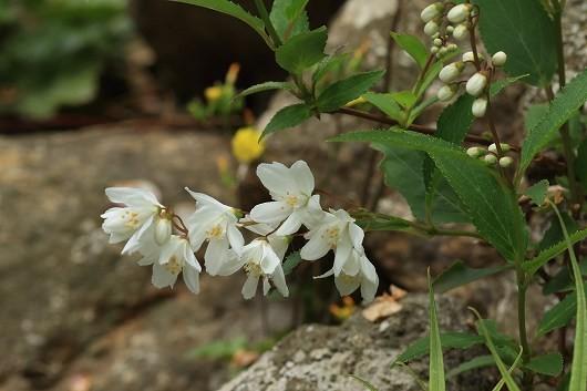 散歩道の花 s-1R8A1582