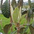 Photos: 植え付けたびわ苗木の新芽