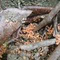Photos: 地表に落ちたカミキリムシの幼虫の糞