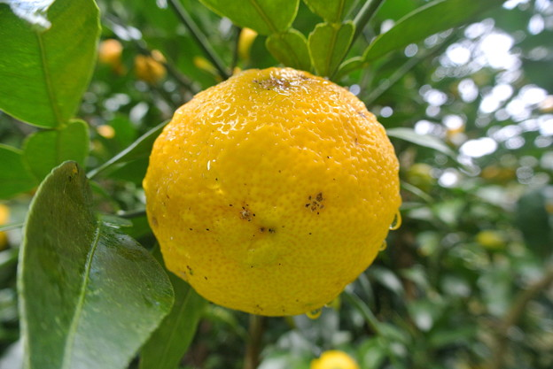 11月中旬の柚子