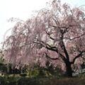 写真: 20140402白鳥庭園