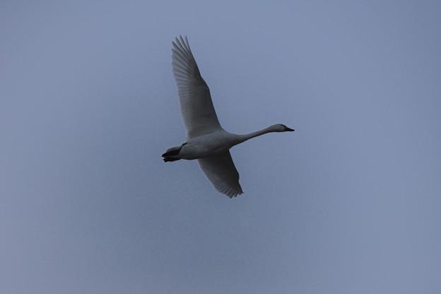 白鳥 美しき翼2