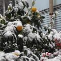 Photos: 雪の南天と柚子