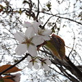 桜咲いた-2