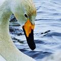 Photos: 白鳥_4