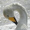 白鳥_4.10