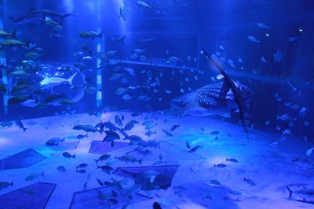 ジンベエザメと青の世界