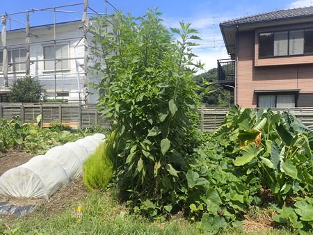 栽培 菊芋