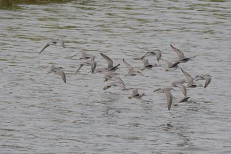 キアシシギ 群れ 63羽