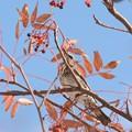 写真: 初冬のツグミ2