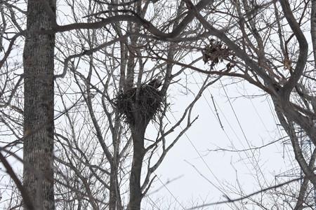 オジロワシ、営巣開始
