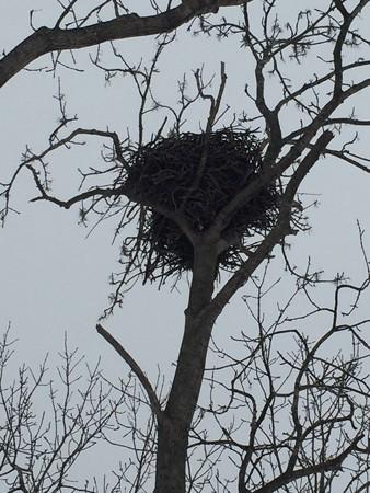 トビの巣2