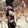 Photos: 花の命は短くて……(さくらんぼの木)