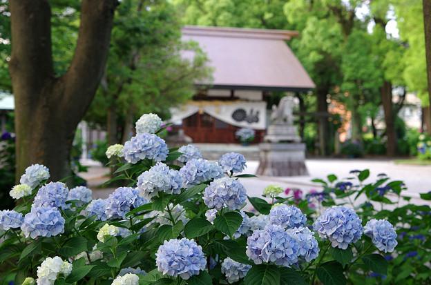 紫陽花神社(1)