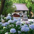 写真: 紫陽花神社(1)