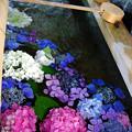 写真: 紫陽花神社(3)