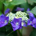 写真: 紫陽花神社(6)