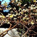 Photos: 牡丹苑内の ミツマタ