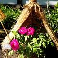 Photos: 牡丹苑にて 新国色種