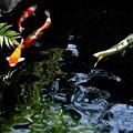 浅草寺境内の錦鯉