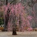 護国寺境内枝垂れ桜