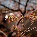 チラリ春  其の壱