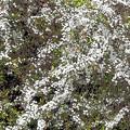 写真: 春の雪(柳)