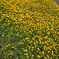 黄色く小さな花