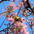 散りかけの河津桜にメジロ1