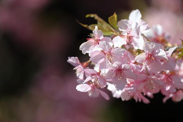 三浦海岸の河津桜7
