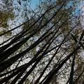 Giant Green Bamboos 3-11-15