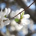 Merrill Magnolia IV 5-7-15