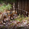Fox on the Move 5-9-15