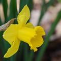 Yellow Daffodil 5-9-15
