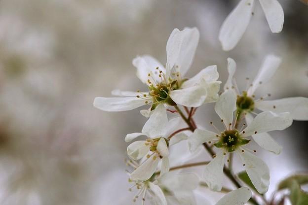 Serviceberry I 5-12-15