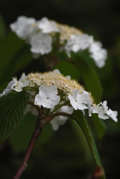 Photos: Hobblebush I 5-16-15