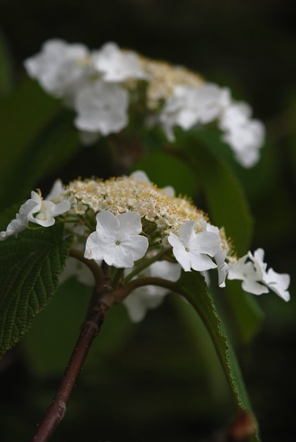 Hobblebush I 5-16-15