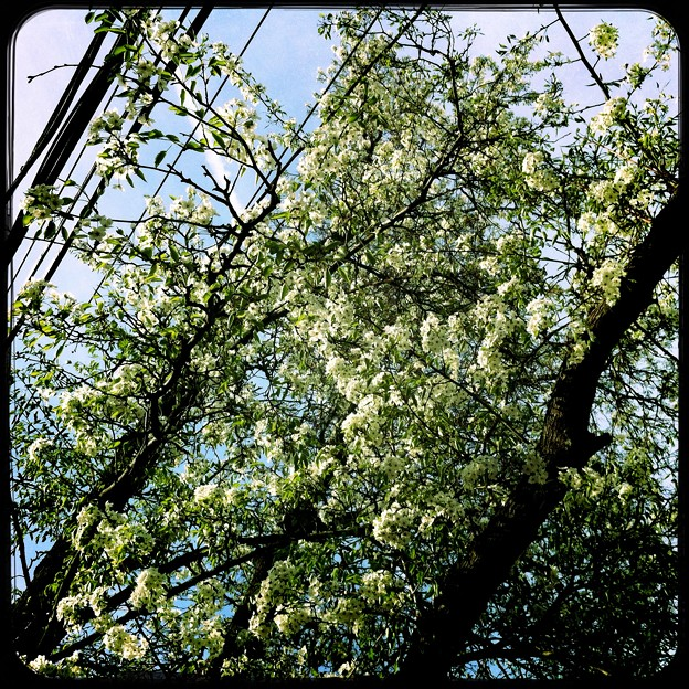 Photos: Callery Pears and the Phone Lines 5-15-15