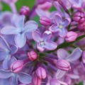 Lilac 5-24-15