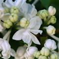 White Lilac 5-24-15