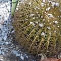 写真: Golden Barrel Cactus 3-18-16