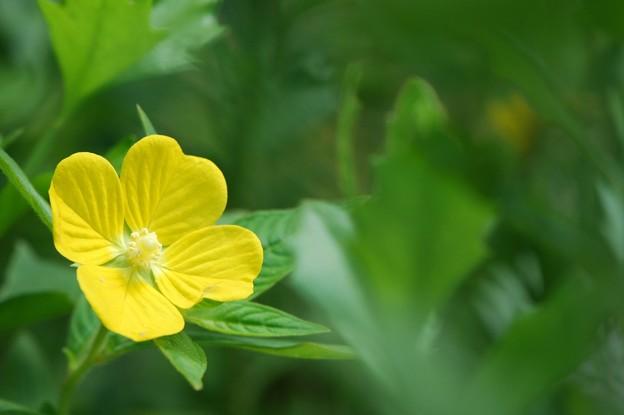 Peruvian Primrose-willow 4-10-16