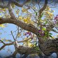 写真: Orchids on Silver Trumpet Tree 4-6-16