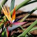 Photos: Bird of Paradise 4-21-16