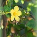 Golden Trumpet Vine 4-21-16
