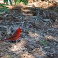 Photos: A Cardinal at the Botanical Garden 4-21-16