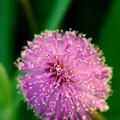 Sunshine Mimosa 4-21-16