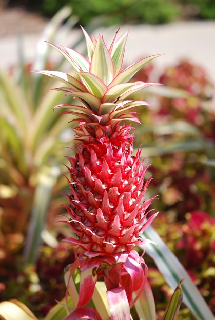 Wilson 4-21-16 or Variegated Pineapple