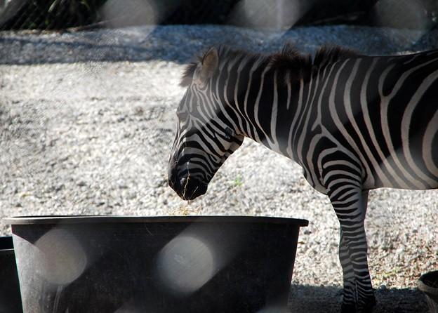 Plains Zebra 6-4-16