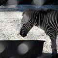 Photos: Plains Zebra 6-4-16